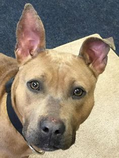 Meet Yoko - Rescue Only - Urgent, a Petfinder adoptable Pit Bull Terrier Dog | Mansfield, OH | Hi there, the staff at the shelter named me Yoko. I came to the shelter as a stray on 1/7/15. I am...