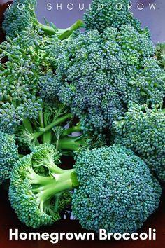 Homegrown broccoli organic vegetable gardening tips.