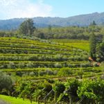 The Benziger Family Winery, in Glen Ellen, is a leader in organic, biodynamic wine cultivation. - See more at: http://travelcuriousoften.com/february12-curious-thirsty.php#sthash.F6unX4t9.dpuf