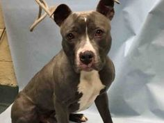 GONE!!!  TO BE DESTROYED 02/16/17 **NEW HOPE RESCUE ONLY**This handsome fellow was taken to the shelter because his owner was evicted.  He faces death, because of a situation he had no control over.  Please share