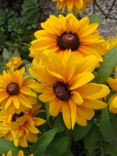 Photo of the bloom of Black-Eyed Susan (Rudbeckia hirta 'TigerEye Gold') Fall Flowers, Exotic Flowers, Yellow Flowers, Colorful Flowers, Beautiful Flowers, Flower Petals, My Flower, Flower Power, Lilies Of The Field
