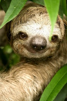 Three-Toed Sloth - Cutest thing ever!  Ihad to sneak the sloth. In