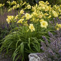 Proven Winners - Rainbow Rhythm® 'Going Bananas' - Daylily - Hemerocallis hybrid yellow plant details, information and resources. Yellow Plants, Yellow Flowers, Autumn Blaze Maple, Reblooming Daylilies, Proven Winners, Day Lilies, Perennials, Landscape Design, Planting Flowers