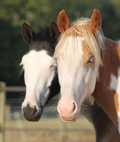 Types Of Animals, Animals And Pets, Cute Animals, All The Pretty Horses, Beautiful Horses, Cheval Pie, Horse Markings, Puppies And Kitties, Horse Stables
