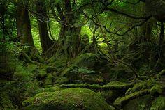 The ancient forest at Yakushima, Japan.