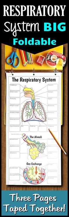 This big respiratory system foldable is made up of 3 pages taped together. Very minimal cutting is involved to save time and the large format breathes new life into teaching the respiratory system.  There is room to record the description of all the parts and this serves as a great graphic organizer for review when complete.  Fantastic for coloring and a perfect fit for binders or interactive notebooks.