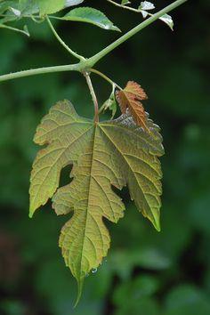 Wild Grape Vine | Content in a Cottage