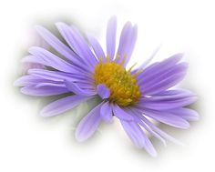 margarida lilás
