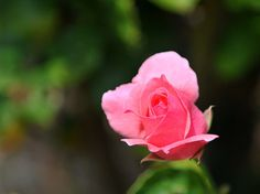 A rose at Penshurst Place in Kent