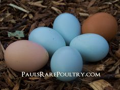 These are eggs from my Sussex, Blue/Wheaten Ameraucana & Barnevelder Chickens.
