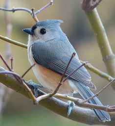 By Trish Overton, lovely blue bird (tufted titmouse) Pretty Birds, Love Birds, Beautiful Birds, Animals Beautiful, Animals Amazing, Animals And Pets, Cute Animals, Pretty Animals, Funny Animals
