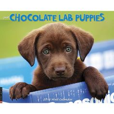 Just Chocolate Lab Puppies Wall Calendar: Precious little Chocolate Lab puppies with their big eyes, huge hearts and chubby paws take center stage. These twelve adorable full-color photographs will keep you smiling all year long.  $13.99  http://calendars.com/Chocolate-Labs/Just-Chocolate-Lab-Puppies-2013-Wall-Calendar/prod201300002976/?categoryId=cat10085=cat10085#