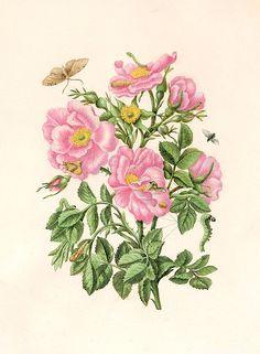 Rosa gallica and Eupithecia innotata by Maria Sibylla Merian