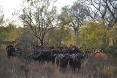 Maree's trip to ZA - Herd of Water Buffalo