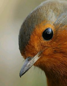 """Very close Robin. """"Nothing in the world is quite as adorably lovely as a robin when he shows off and they are nearly always doing it."""" ― Frances Hodgson Burnett, The Secret Garden Pretty Birds, Love Birds, Beautiful Birds, Animals Beautiful, Vogel Gif, Animals And Pets, Cute Animals, Funny Animals, European Robin"""