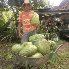 Cosecha de Guanábanas Exotic Fruit, Harvest