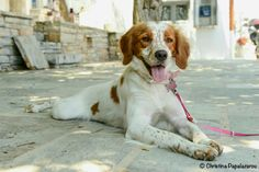 happy brittany dog