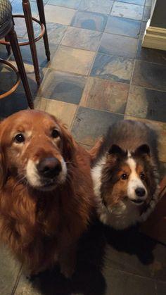 Skittle et Lady Golden Retriever et Berger Shetland | Pawshake Ile des Soeurs