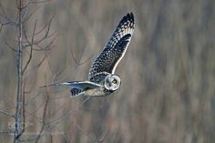 Short-eared Owl by ysbae491 via http://ift.tt/2iT4eKq