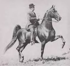 Beau Gallant, American Saddlebred stallion.  Sire of Gallant Guy and full brother to Beau Fortune