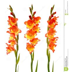 Red And Yellow Gladiolus - Download From Over 38 Million High Quality Stock Photos, Images, Vectors. Sign up for FREE today. Image: 14855905