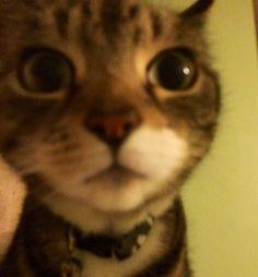 Dumb Cats, Funny Cats, Funny Animals, Cute Animals, Cat Emoji, Animal Magic, Pretty Cats, Funny Animal Pictures, Cat Memes
