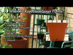When To Repot Container Plants? Learn about the best time of day to plant.  Size of the container, seedlings, Types of potting mixes, compost.  Brought to by Marty Ware from the Potted Vegetable Garden.