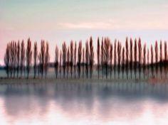 Poplars in the morning light