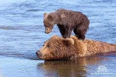 Grizzly Bear Kingdom on Facebook, Google+ MA..swim faster!