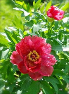 Our First Tree Peony!