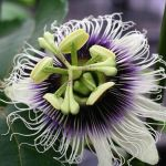 Passion fruit : το ιερό φρούτο