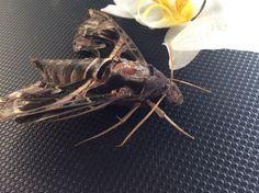 Daphnis hypothous (Lepidoptera: Sphingidae)
