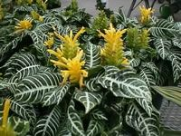 The Zebra Plant, How to Grow and Care for Zebra Plants, Aphelandra squarrosa - Garden Helper, Gardening Questions and Answers