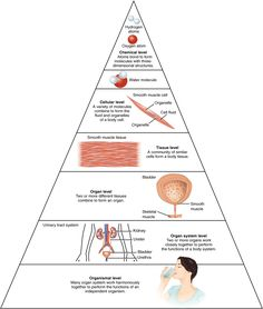 The organization of the body often is discussed in terms of six distinct levels…