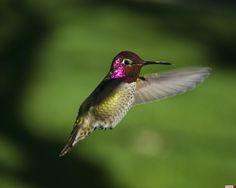 hummingbirds | Anna's Hummingbird (Calypte anna) Male Anna's Hummingbird hovering