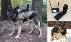 The Cerberus Digital Canine Transmitter, developed by Dorset-based Cobham Tactical Communications and Surveillance, is a pop up camera that can be mounted to a dog harness.