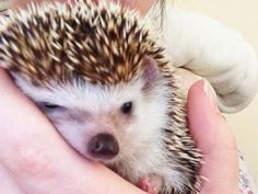 For the Love of a Hedgehog
