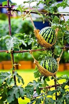 Garden hammocks to support melons. So adorable!