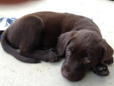 Mind Blowing Facts About Labrador Retrievers And Ideas. Amazing Facts About Labrador Retrievers And Ideas. Brown Labrador, Labrador Retriever Dog, Cute Puppies, Cute Dogs, Dogs And Puppies, Doggies, Chocolate Lab Puppies, Chocolate Labs, Most Popular Dog Breeds