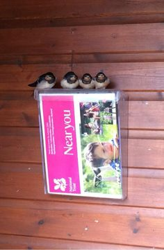 Swallows reading our Near You newsletter at Lyveden New Bield