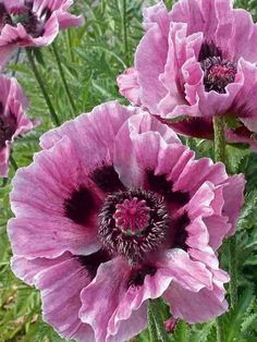 But this pink shows the watercolour effect that True Summer does better than anyone else - Orientalischer Mohn 'Manhattan' - Papaver orientale 'Manhattan' Exotic Flowers, Amazing Flowers, My Flower, Flower Power, Beautiful Flowers, Poppy Flowers, Pink Poppies, Purple Flowers, Cactus Flower