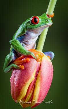Frog & Tulip by emmadavidso Les Reptiles, Cute Reptiles, Reptiles And Amphibians, Wildlife Photography, Animal Photography, Amazing Frog, Frog Tattoos, Red Eyed Tree Frog, Frog Pictures