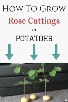 How To Grow an Endless Supply of Roses. Grow beautiful rose bushes from trimmings with the help of potatoes!