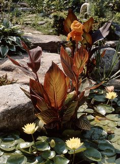 """Tropicanna cannas make for a stunning pond or water feature plant and  is easy to use.  Simply plant in a deep container, cover with gravel  and place in pond so that top of container is about 2"""" from top  of water."""
