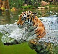 Beautiful shot!  Tiger-photography-water