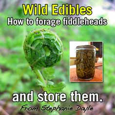 How to forage fiddlehead ferns, how to cook and preserve: http://americanpreppersnetwork.com/2014/03/fiddlehead-ferns-how-to-make-them-food.html#freezing
