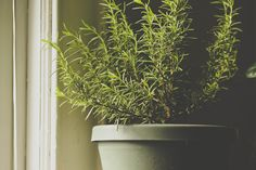10 Plants that Smell Heavenly: Rosemary, another sweet-scented herb, prefers well-drained soil and adequate air circulation (next to a window or doorway) to thrive indoors. Scented Geranium, Garden Equipment, Indoor Plants, Indoor Herbs, Container Gardening, Balcony Gardening, Herbs Indoors, Container Flowers, Begonia