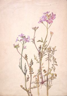 Cheshire symbol - Cuckoo flower, or Lady's smock Beatrix Potter, Cuckoo flower, or Ladys smock, about 1900. © Frederick Warne & Co