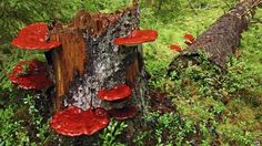 """Mushroom used in Chinese medicine, Ganoderma lucidum, reduces obesity in mice by modulating composition of gut microbiota. """"... reduces body weight, inflam. & insulin resistance in mice fed a high-fat diet (HFD). ... WEGL not only reverses HFD-induced gut dysbiosis — as indicated by decreased Firmicutes-to-Bacteroidetes ratios and endotoxin-bearing Proteobacteria levels—but also maintains intestinal barrier integrity ...""""…"""