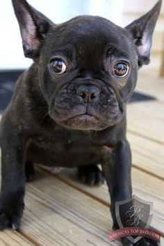 French bulldog - I want one!